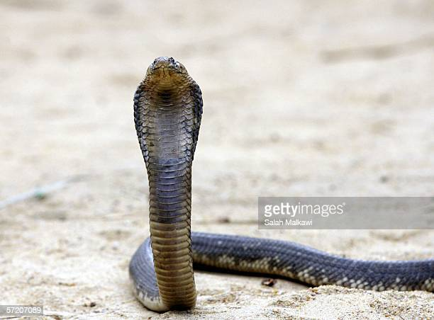 An Egyptian cobra rears it's head at Nasr Tolba's home 20km away from Cairo on March 25 2006 in Abu Rawwash Egypt Nasr Tolba is an Egyptian who...