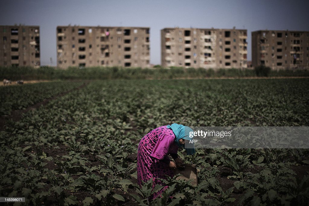An Egyptian farmer works in a field in the fertile Egyptian Delta region of Menufiya, in the city of Banha, 50 kms north of the capital Cairo, on May 28, 2012. Support for ex-prime minister and presidential candidate Ahmad Shafiq is strong in a region where former presidents Anwar Sadat and Hosni Mubarak were born and where their popularity his high, in contrast with a staunch opposition to the Muslim Brotherhood's candidate Mohammed Mursi.