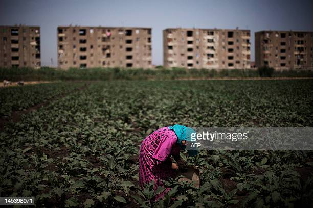 An Egyptian farmer works in a field in the fertile Egyptian Delta region of Menufiya in the city of Banha 50 kms north of the capital Cairo on May 28...