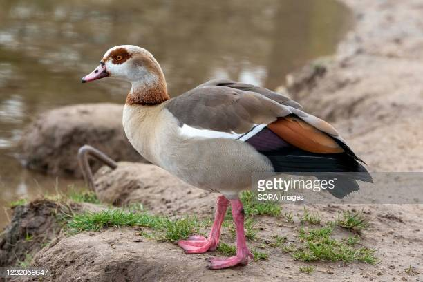 An Egyptian Goose seen on the bank of a stream in Bushy Park in London.