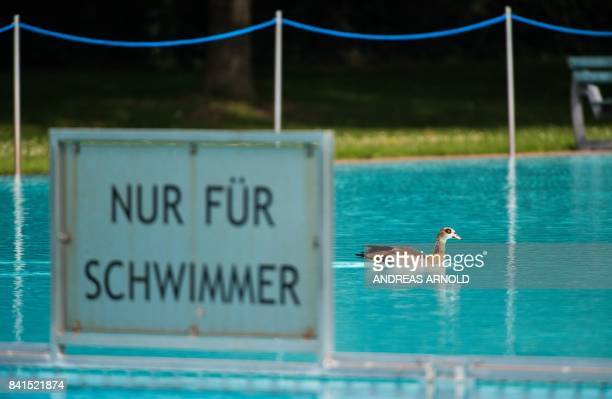 An Egyptian goose swims past a sign reading 'For Swimmers Only' in an open air public swimming pool at the Brentanobad in Frankfurt am Main western...