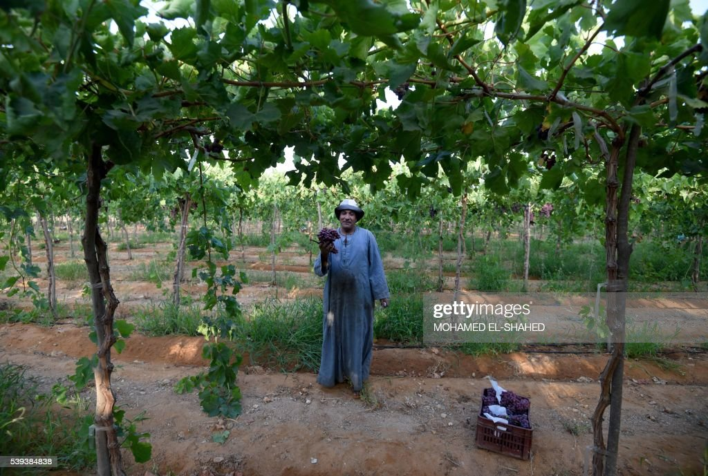 An Egyptian man poses for a photo as he harvests grapes near the village of Kafr Dawud in the Egyptian Nile Delta province of al-Minufiyah, north of the capital Cairo on June 11, 2016. / AFP PHOTO / MOHAMED EL-SHAHED / The erroneous mention[s] appearing in the metadata of this photo by MOHAMED EL-SHAHED has been modified in AFP systems in the following manner: [Kafr Dawud] instead of [Kafr al-Hajj Dawud]. Please immediately remove the erroneous mention[s] from all your online services and delete it (them) from your servers. If you have been authorized by AFP to distribute it (them) to third parties, please ensure that the same actions are carried out by them. Failure to promptly comply with these instructions will entail liability on your part for any continued or post notification usage. Therefore we thank you very much for all your attention and prompt action. We are sorry for the inconvenience this notification may cause and remain at your disposal for any further information you may require.