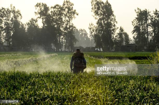 An Egyptian man sprays a wheat field with pesticides in the village of Shamma in Egypt's northern Nile delta province of Menoufia on March 19 2019