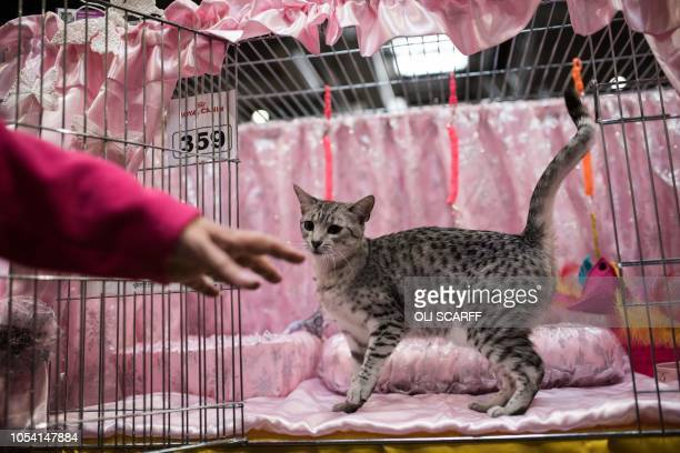 An Egyptian Mau Adult cat waits in its pen prior to being judged at the 42nd 'Supreme Cat Show' organised by the Governing Council of the Cat Fancy...