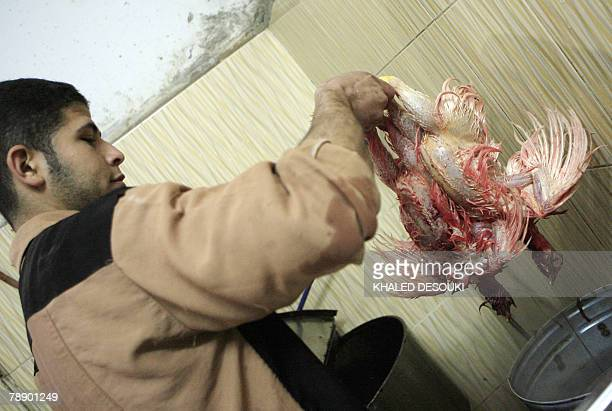An Egyptian poultry vendor dips two slaughtered chicken in hot water at his shop in Damietta 195 km north of Cairo 05 December 2008 In the Nile Delta...