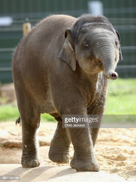 An eight month old elephant called 'Elizabeth' plays ahead of the Queen and Duke of Edinburgh's visit to ZSL Whipsnade Zoo at the Elephant Centre on...