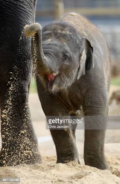 An eight month old elephant called 'Elizabeth' plays in the sand ahead of the Queen and Duke of Edinburgh's visit to ZSL Whipsnade Zoo at the...