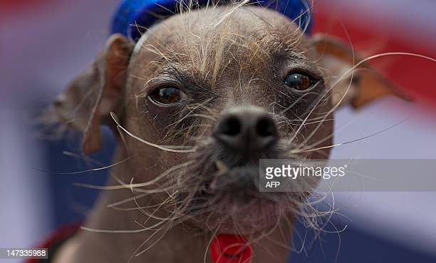 An eight yearold Chinese Crested dog called 'Mugly' is pictured during a photocall in London on June 28 2012 Mugly a former rescue dog was named the...