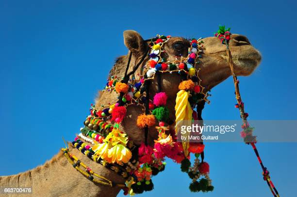 An elaborately decorated camel during the Desert Festival in Jaisalmer, Rajasthan, India