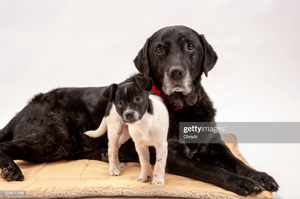 An elderly black labrador bitch and her new 3 month old Jack Russell cross puppy friend. : Stock Photo