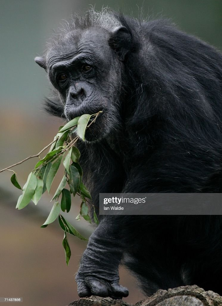An elderly Chimpanzee feeds in its enclosure at Taronga Zoo July 14, 2006 in Sydney, Australia. Primatologist Dr Jane Goodall visited the zoo to raise awareness of the plight of wild Chimpanzees. The zoo's colony of Chimps includes several family groups, and three of the oldest Chimpanzees in zoos.