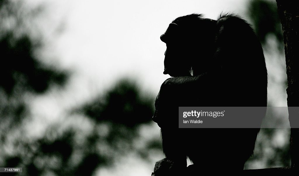 An elderly Chimpanzee sits on a tree in its enclosure at Taronga Zoo July 14, 2006 in Sydney, Australia. Primatologist Dr Jane Goodall visited the zoo to raise awareness of the plight of wild Chimpanzees. The zoo's colony of Chimps includes several family groups, and three of the oldest Chimpanzees in zoos.