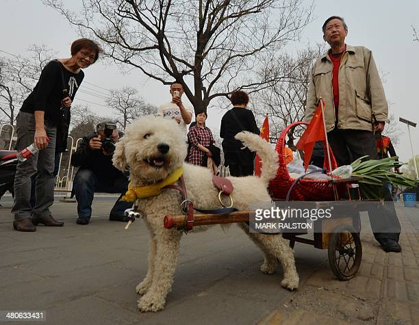 An elderly Chinese man returns from a shopping trip with his dog Duoji who is pulling a small cart in Beijing on March 26 2014 Dog ownership is...