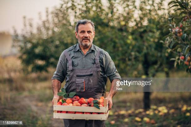 an elderly farmer carries apples through an orchard - apple fruit stock pictures, royalty-free photos & images
