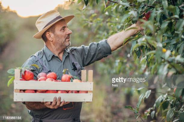 an elderly farmer picks an apple in his orchard - apple harvest stock pictures, royalty-free photos & images