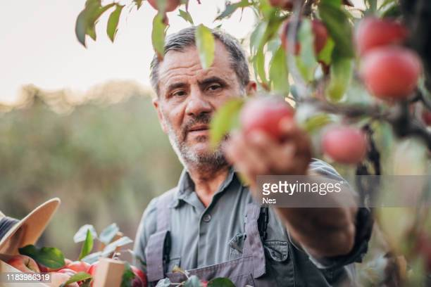 een oudere boer kiest een appel in zijn boomgaard - orchard stockfoto's en -beelden