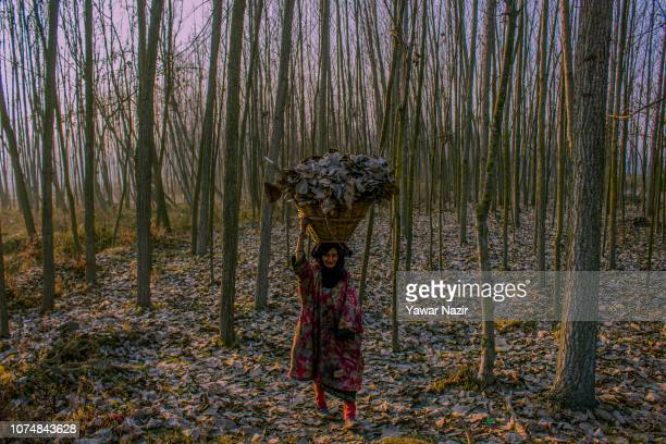 An elderly Kashmiri woman in traditional attire carries a basket of dried leaves as she walks through poplar trees on a cold day on December 26 2018...