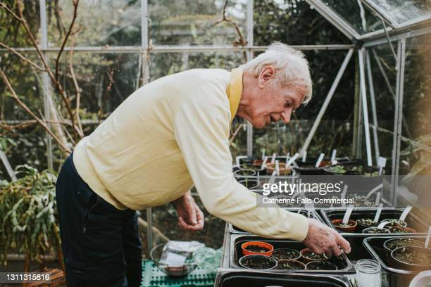 an elderly man examines seedlings in his greenhouse - one senior man only stock pictures, royalty-free photos & images