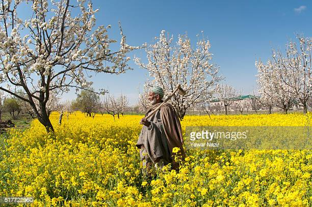 An elderly man walks mustard fields in full bloom on March 26 2016 in in Budgam 20 km west of Srinagar the summer capital of Indian administered...