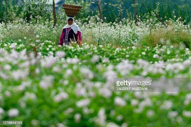 An elderly woman carries a basket on her head at a rice field on the outskirts of Srinagar on June 1, 2020.