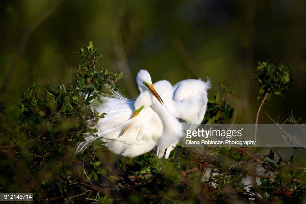 An elegant courtship.  Great egret couple cuddling at Venice Rookery, Venice, Florida