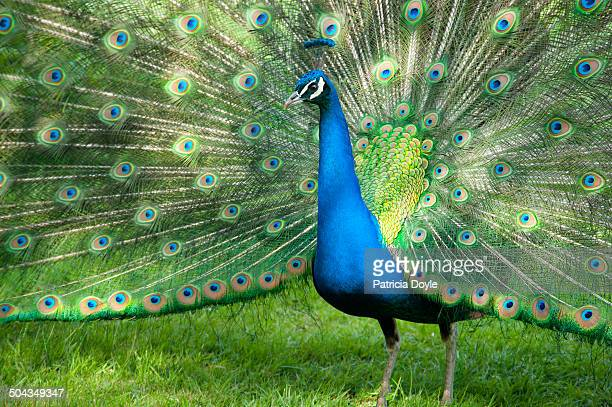 an elegant male peacock in full display - male animal stock pictures, royalty-free photos & images