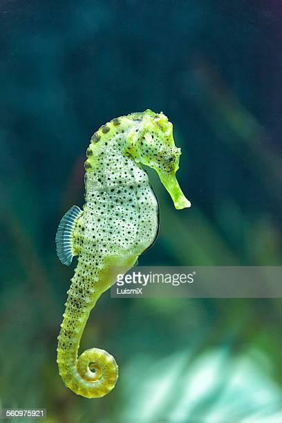 an elegant seahorse - hippocampe photos et images de collection