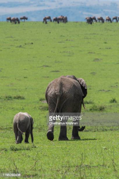 an elephant and calf grazing in the plains of africa during a wildlife safari inside masai mara national reserve - big bums stock pictures, royalty-free photos & images