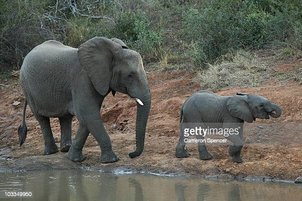 An elephant and her calf walk along a river bank on July 18 2010 in the Edeni Game Reserve South Africa Edeni is a 21000 acre wilderness area with an...