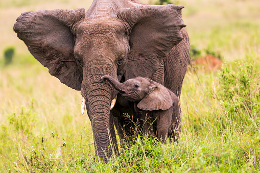 An elephant and its baby walking in long grass 167154432