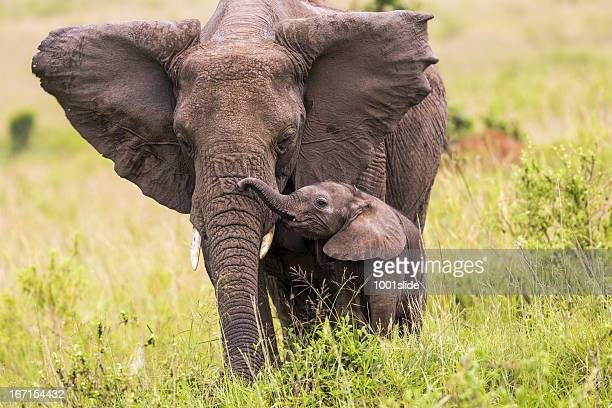 an elephant and its baby walking in long grass - animal family stock pictures, royalty-free photos & images