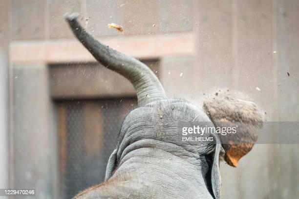 """An elephant at Copenhagen zoo is feasting on giant pumpkins on November 5, 2020. - The zoo's elephants play with, trample on and eat the """"used""""..."""