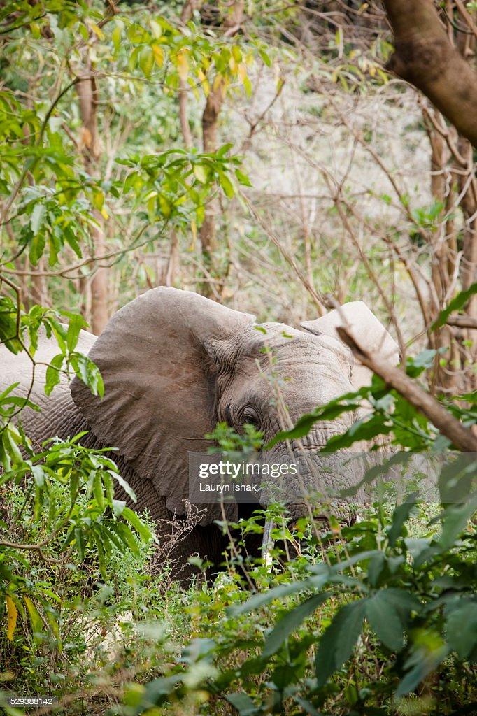An elephant at Lake Manyara National Park, Tanzania : Stock Photo