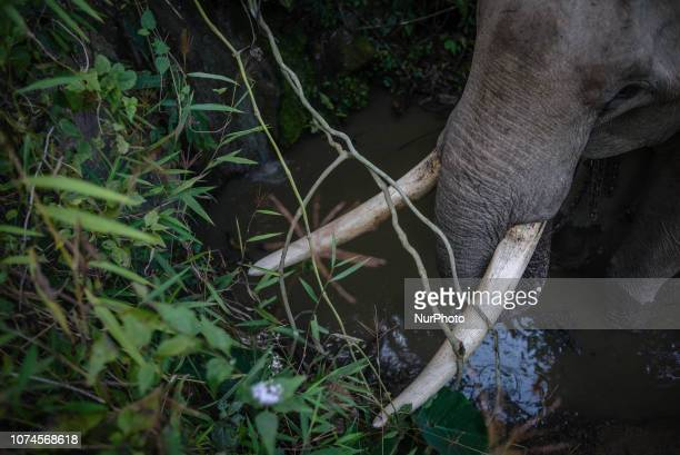 An elephant at the water hole in the Elephant Conservation Center Sayaboury Laos in December 2018 Laos was known as The land of a million elephants...