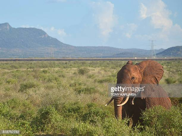 An elephant bearing a newly fitted collar recovers from the effects of a sedative veterinary doctor checks the respiratory rate of a sedated Elephant...