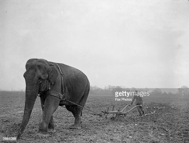 An elephant being used to plough at Sangar's Circus training quarters at Horley in Surrey