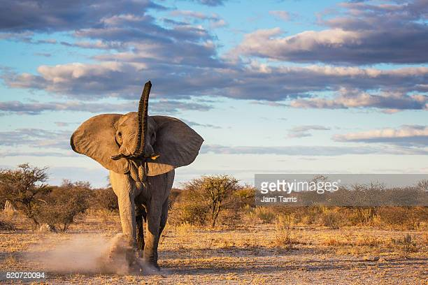 An elephant bull kicking up sand as a warning after a mock charge