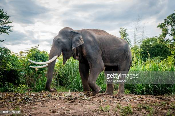 An elephant bull stands in the the Ban Ta Klang elephant village in Surin Thailand 14 November 2015 PhotoIANROBERTKNIGHT/dpa   usage worldwide