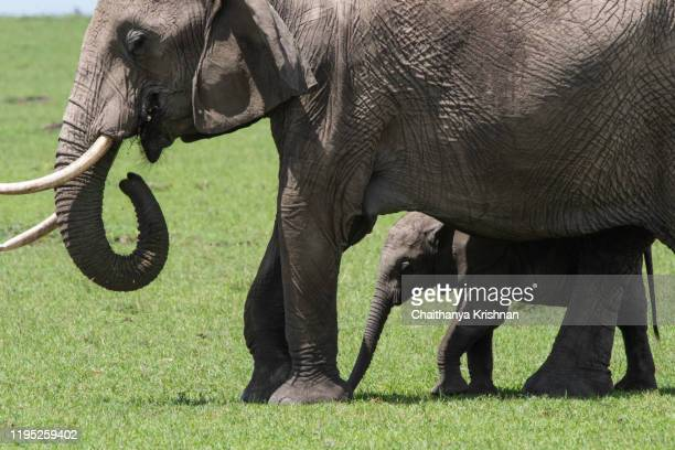 an elephant calf between the legs of his mom in safe while grazing in the plains of masai mara national reserve during a wildlife safari - big bums stock pictures, royalty-free photos & images