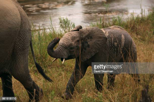 An elephant calf chases its mother after drinking at the Sabi River on March 31 2015 at the Sabi Sands private game reserve in the eastern province...