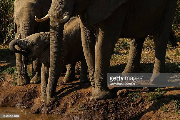 An elephant calf drinks from a river at the Mashatu game reserve on July 27 2010 in Mapungubwe Botswana Mashatu is a 46000 hectare reserve located in...