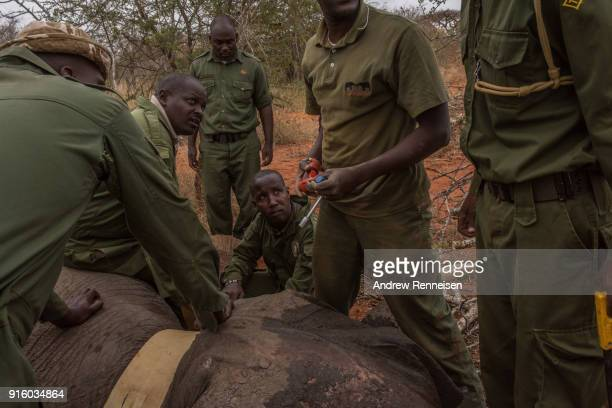 An elephant collaring team works to get a collar around Salama a female African Savannah elephant after she was tranquilized during an elephant...