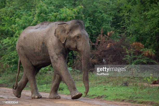 An elephant crosses a track at Udawalawe National Park in Udawalawe about 160 kilometers southeast of Colombo on August 24 2019 The Wildlife...