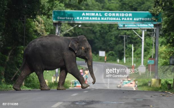 An elephant crosses National Highway37 which passes through the flooded Kaziranga National Park in the northeastern state of Assam on August 14 2017...
