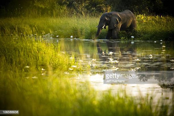 An elephant drinks from a pond in the distance at Zakouma National Park on October 24 2008 in Zakouma Chad The park is home to vastly diminishing...