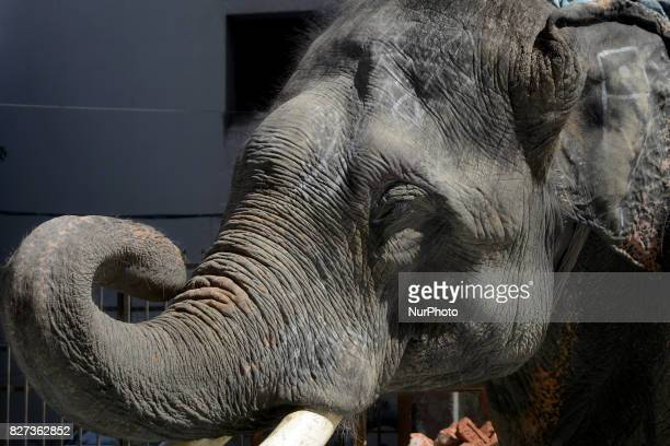 An elephant during collecting money in the street of Dhaka Bangladesh on August 07 2017 Estimates say there are about 200 wild elephants left in...