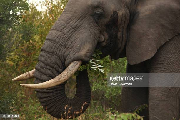 An elephant feeds on March 30 2015 at the Sabi Sands private game reserve in the eastern province of Mpumalanga South Africa Sabi Sands is a 65000...
