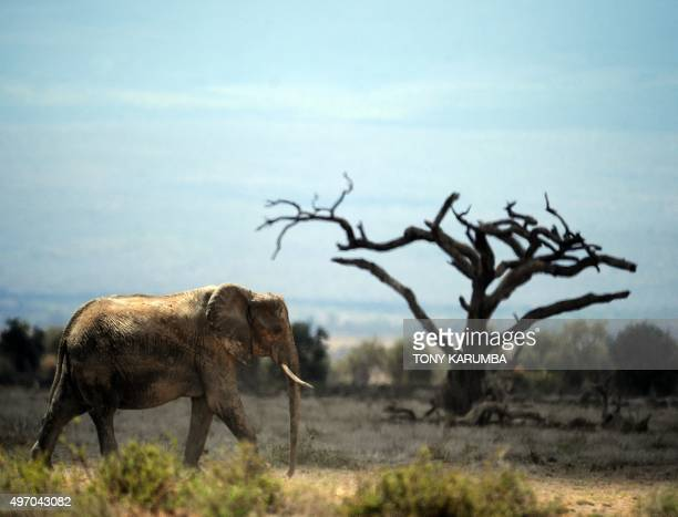 An elephant forages at the Amboseli national reserve November 13 2015 at the foot of Mt Kilimanjaro The first delegation of the ChinaAfrica Wildlife...