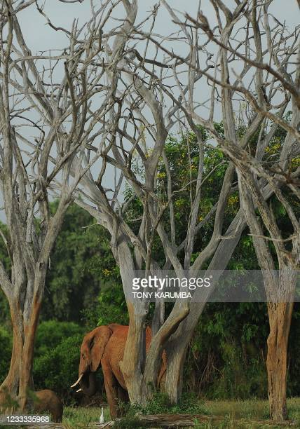 An elephant forages on March 20, 2012 in the Tsavo-east National park during the second phase of a collaring excercise funded by International Fund...