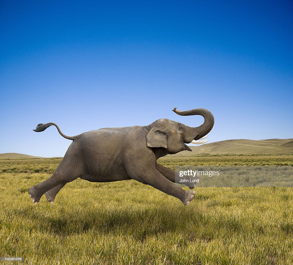 An Elephant Galloping In Freedom and Joy : Stock Photo